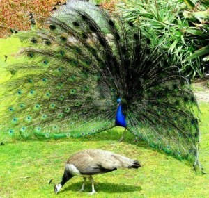 7467410-the-peafowl-mating-ritual